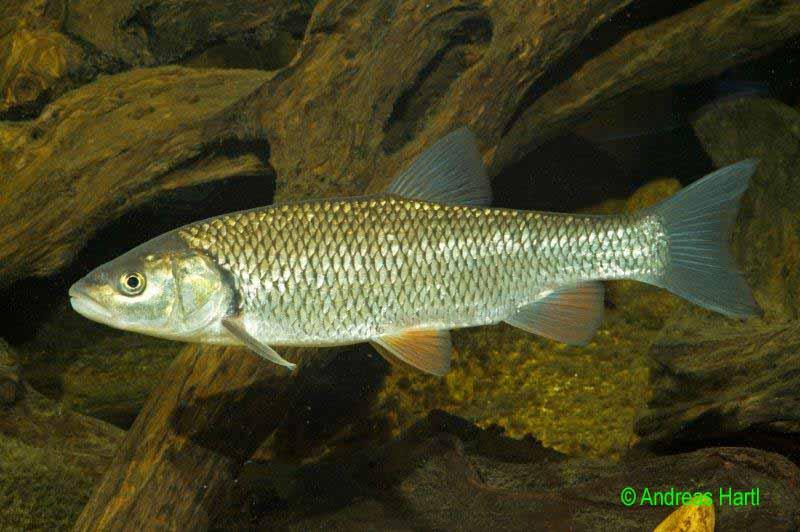 Fische in unseren gew ssern fischereiverein wei enstadt for Heimische fische